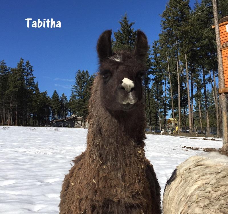 brown llama - caring for llamas