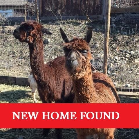 giving a home to an alpaca, alpaca rescue in Canada