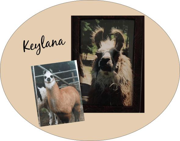 llama in need of home - bc llama rescue