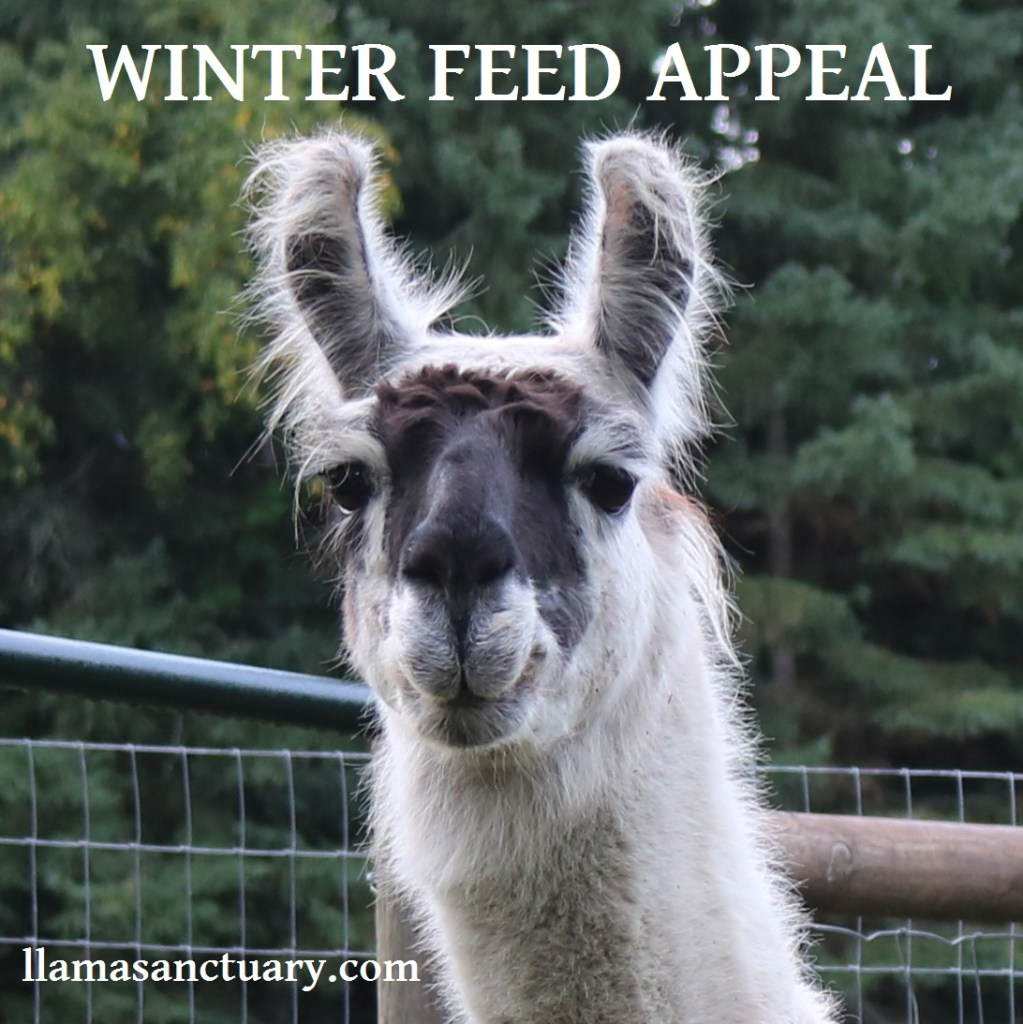 buy hay for the llamas at The Llama Sanctuary