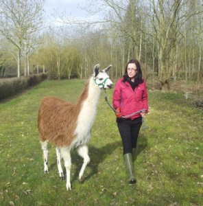 Training llama youngster