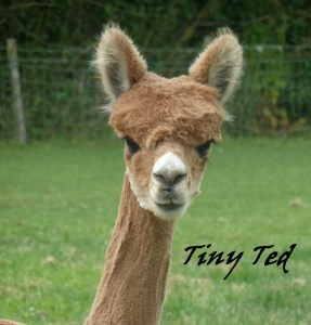 Tiny Ted portrait alpaca