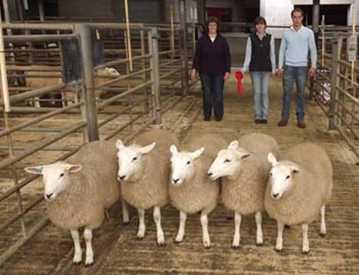 First Prize Ewe Lambs Skipton Society