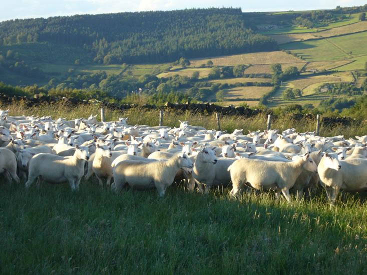 Shearling Ewes