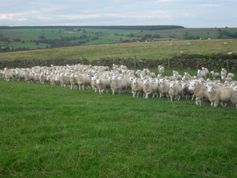 Ewe Lambs
