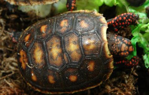 baby red foot tortoises