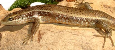 African Red Sided Skinks for sale