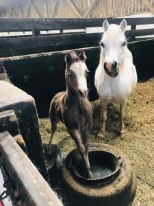 Foal standing in stable with foot in bucket