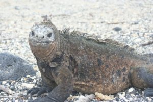 iguana Galapagos