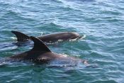 Dolphins in BOI_6