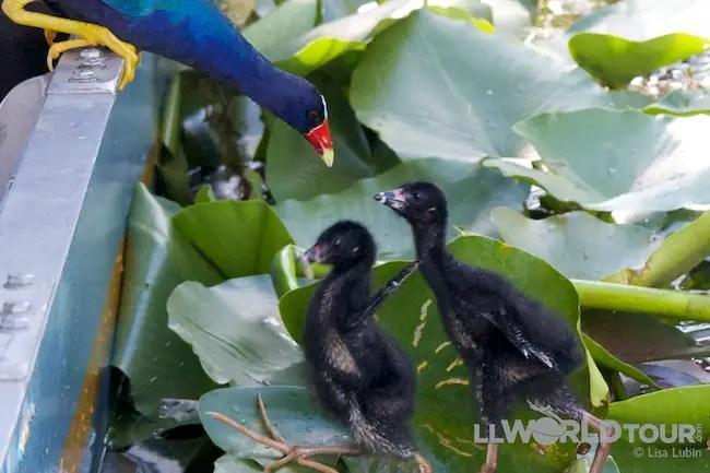 Everglades baby Purple Gallinules