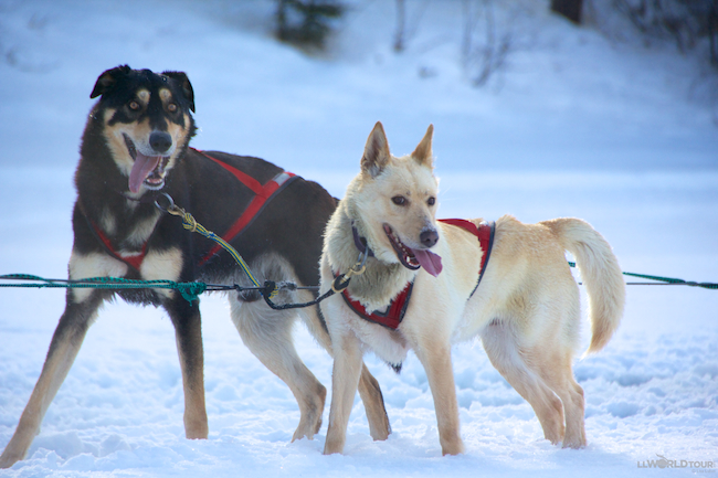 Husky sled dogs