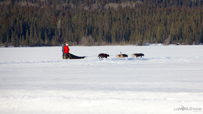 Dogsledding in Jasper