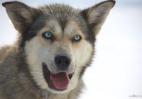 Video: Dog Sledding in Jasper, Canada