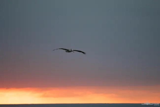 Pelicans Puerto Vallarta