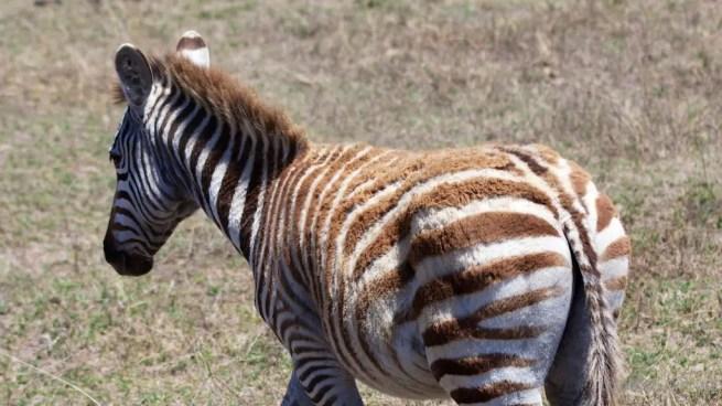 Ngorongoro Crater baby zebra
