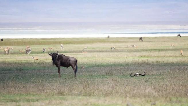 Ngorongoro gazelles