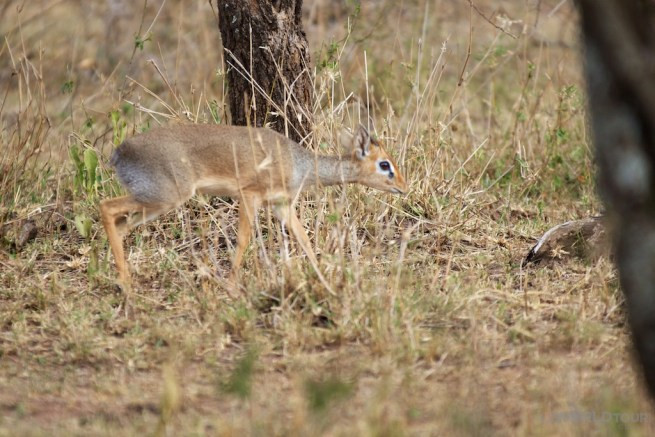 Dik-Dik in the Sergengeti