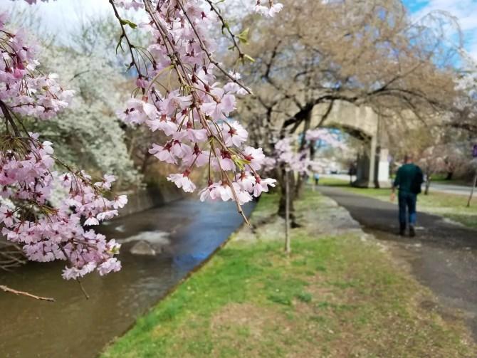 Newark Cherry Blossoms