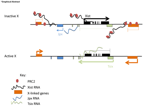 Guided by RNAs: X-inactivation as a model for lncRNA
