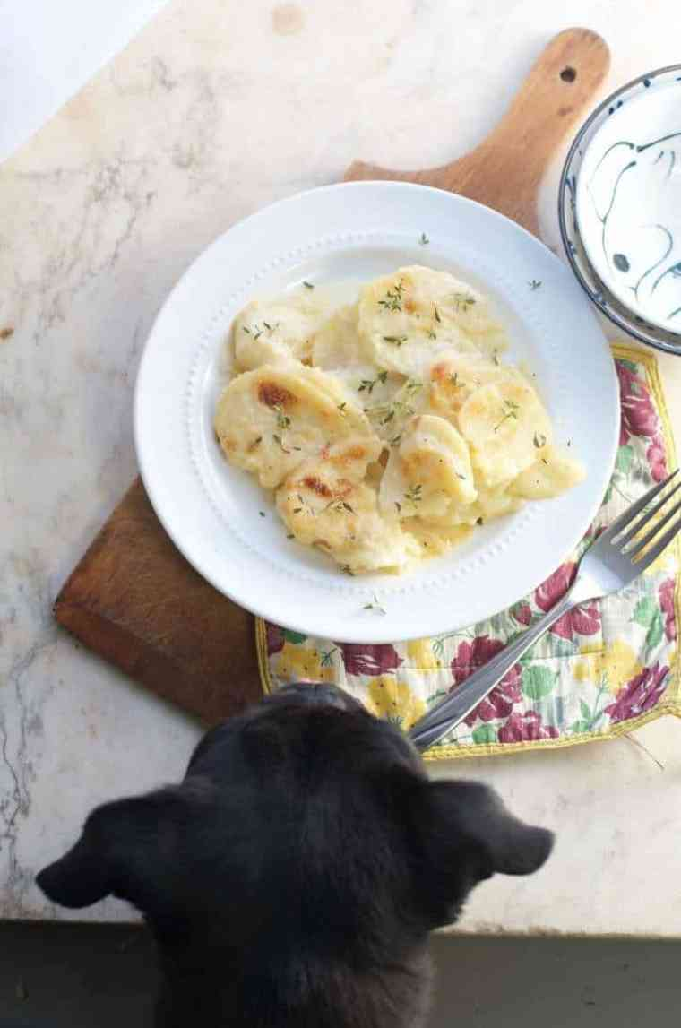 A photo of the dish sitting in my photo studio with my black pug, Leroy Brown, poking his head in the photo for THE SECRET TO PERFECT EVERY TIME AU GRATIN POTATOES