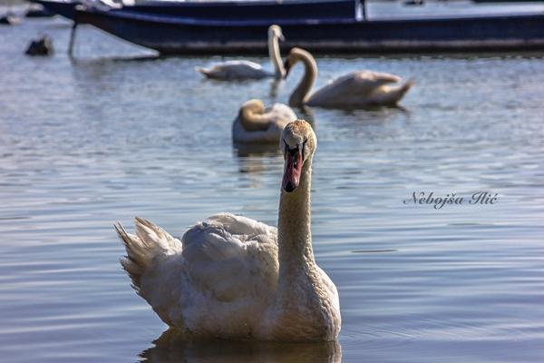 Nebojsa Ilic Photography - Slika 02 - Labudovi na Dunavu