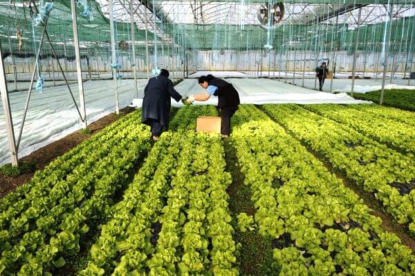 U PKB-u rasprodaja zelene salate zbog sadnje paradajza-2015