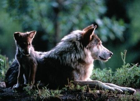 Una loba con un lobezno