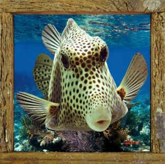 Boxfish Kiss