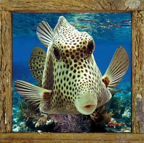 Boxfish Kiss