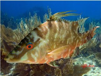 """HOGFISH IN THE GORGONIANS"""
