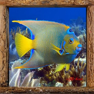 Queen Angelfish with Gorgonians