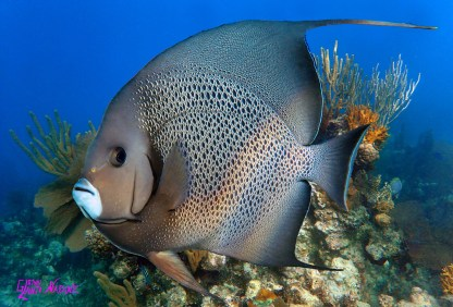 """GREY ANGELFISH"""