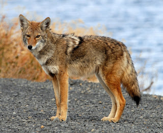 Coyote Calling Secrets You Can Use Right Now [Expert Video]