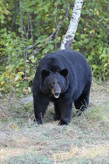 Best Black Bear Rounds and Bullets (Randy Newberg's Picks)