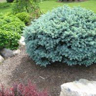 Dwarf Blue Globe Spruce
