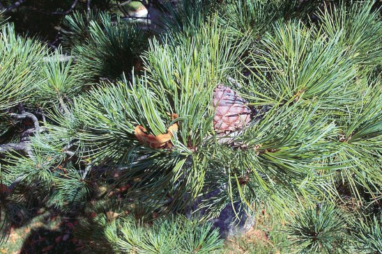 Swiss Stone pine and cones.