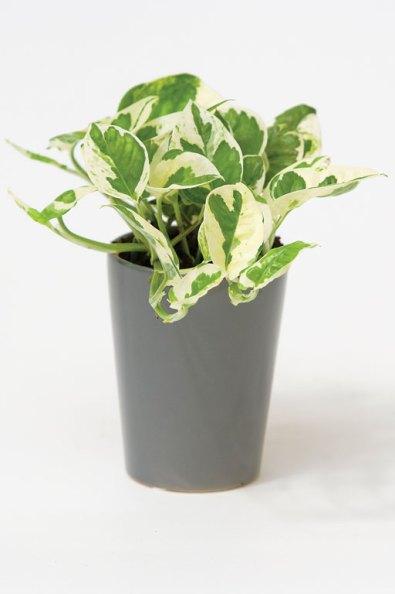 Epipremnum pinnatum 'N' Joy Pothos