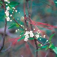 Pin cherry (Prunus pensylvanica) plant hardiness zone 2