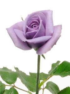 Suntory blue rose