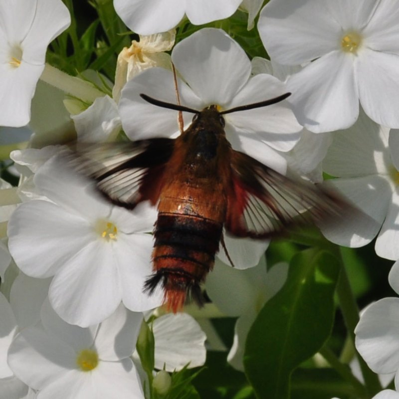 The nocturnal hummingbird moth might surprise you with its four-inch length.