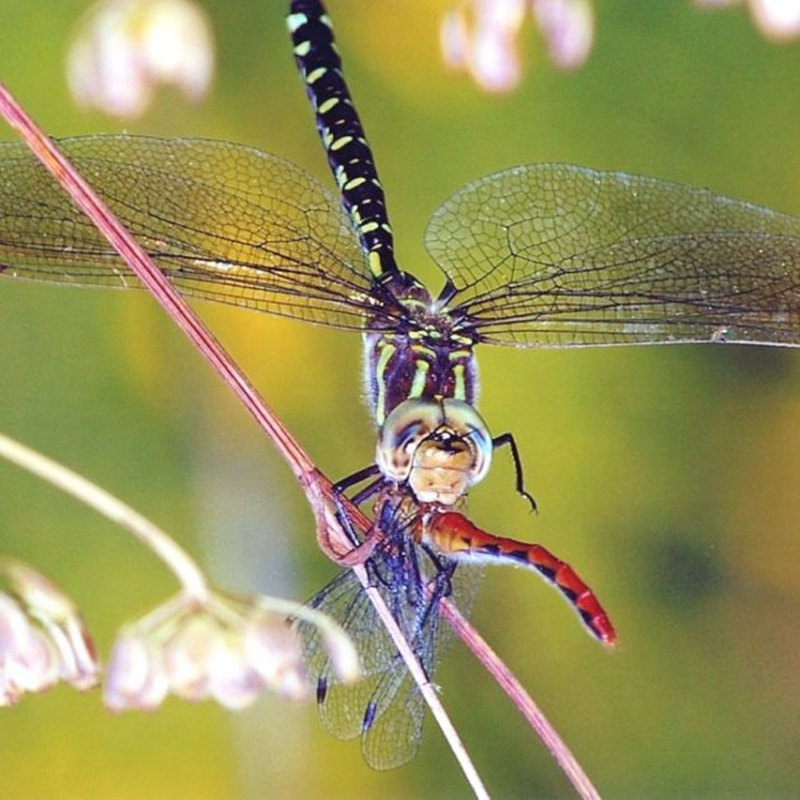 dragonflies eating another dragonfly
