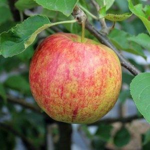 Jonagold apple