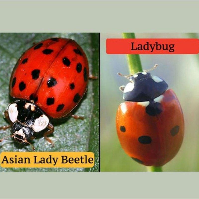 Asian ladybug vs ladybug