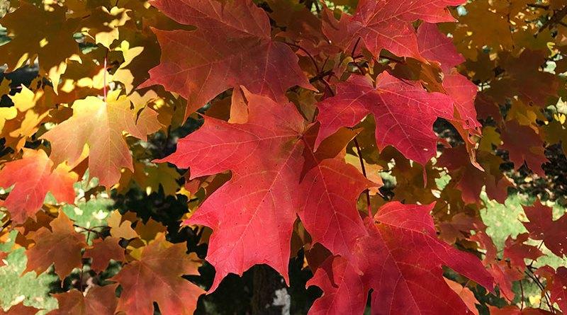red sugar maple tree for Manitoba
