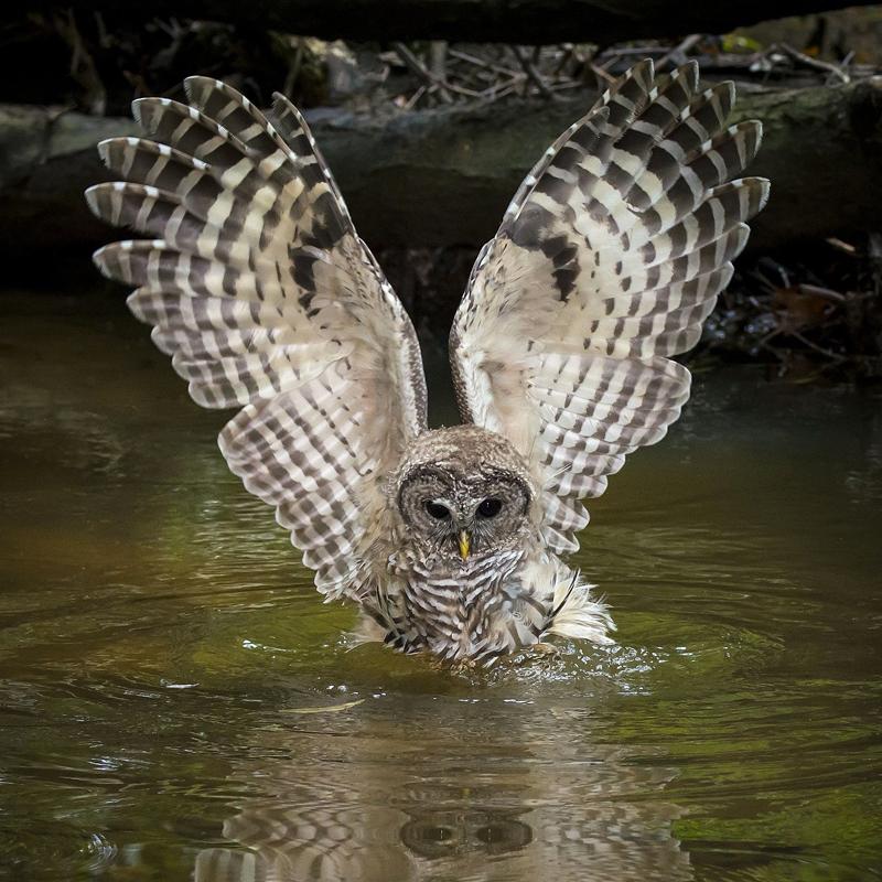 Hoot owl fishing