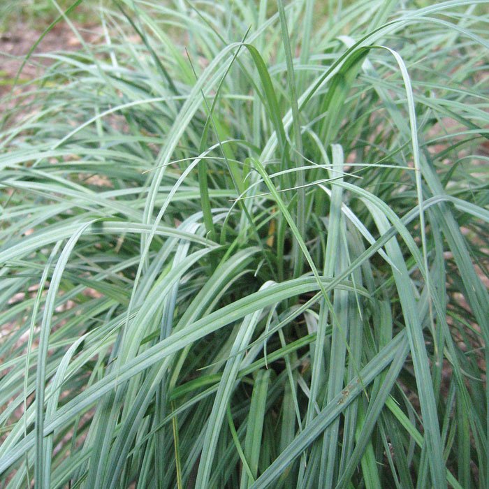 blue sedge grass