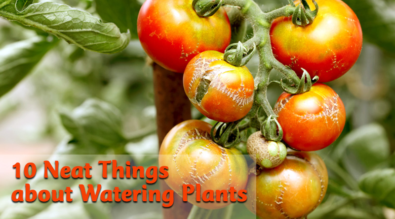 10 Neat Things about tomato troubles