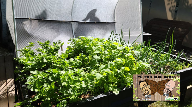 Two Olde Dawgs: Planting the Vegepod