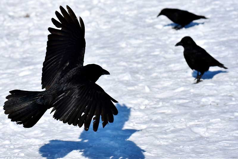 10 neat things crows